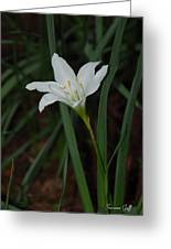 Atamasco Lily Greeting Card