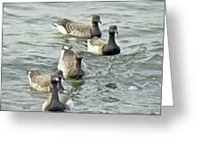 Atlantic Brant Geese - Branta Bernicla Hrota Greeting Card