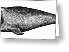 Atlantic Right Whale Greeting Card