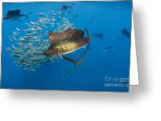 Atlantic Sailfish Hunting Greeting Card