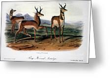 Audubon: Antelope, 1846 Greeting Card