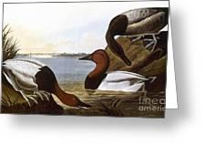 Audubon: Canvasback, 1827 Greeting Card