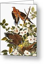 Audubon Dove Greeting Card