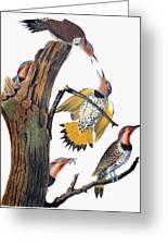 Audubon: Flicker Greeting Card