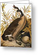 Audubon: Goose Greeting Card