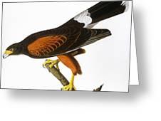 Audubon: Hawk, 1827 Greeting Card