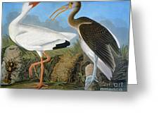 Audubon: Ibis Greeting Card