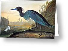Audubon: Little Blue Heron Greeting Card by Granger