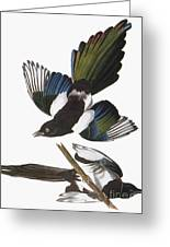 Audubon: Magpie Greeting Card