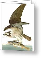 Audubon: Osprey Greeting Card