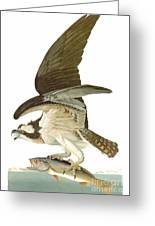 Audubon: Osprey Greeting Card