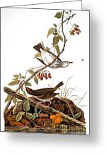 Audubon: Ovenbird Greeting Card