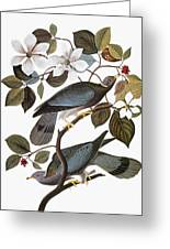 Audubon: Pigeon Greeting Card