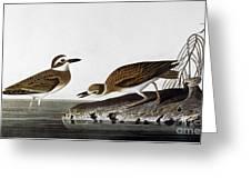 Audubon: Plover, 1827-38 Greeting Card