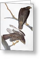 Audubon: Red-tailed Hawk Greeting Card