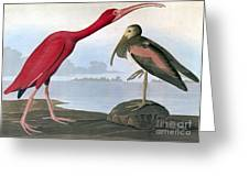 Audubon: Scarlet Ibis Greeting Card