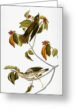 Audubon: Thrush Greeting Card