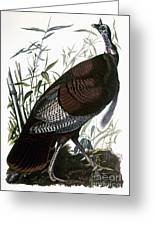 Audubon: Turkey Greeting Card