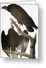 Audubon: Turkey Vulture Greeting Card