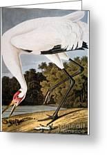 Audubon: Whooping Crane Greeting Card