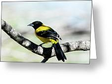 Audubon's Oriole Back Wings Greeting Card