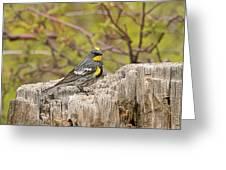 Audubon's Yellow Rumped Warbler Greeting Card