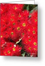Australian Native Eucalyptus Flowers Greeting Card