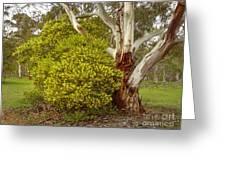 Australian Wattles Bush And Candlebark Gum Tree Greeting Card