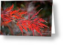 Autumn Japanese Maple Greeting Card