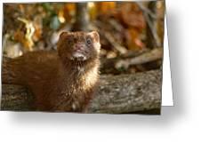 Autumn Mink Greeting Card