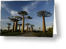 Avenue Des Baobabs Greeting Card
