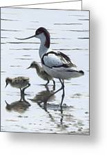Avocet And Chicks Greeting Card