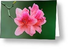 Azalea Blooms On A Green Background Greeting Card