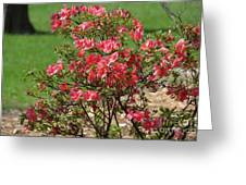 Azalea Bush 2  Greeting Card