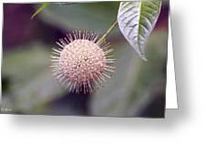 Babcock Wilderness Ranch - Buttonbush Greeting Card