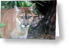 Babcock Wilderness Ranch - Oceola The Panther Gazing Greeting Card