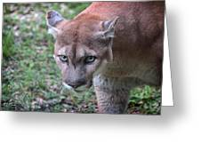 Babcock Wilderness Ranch - Oceola The Panther On The Prowl Greeting Card
