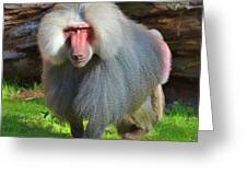 Baboon Stalking Greeting Card