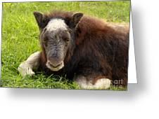Baby Alaskan Musk Ox Greeting Card