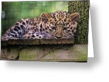 Baby Amur Leopard Greeting Card