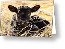 Baby Angus Calf Hideaway Greeting Card