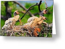 Baby Anhinga Chicks Greeting Card