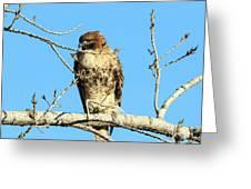 Baby Bald Eagle Greeting Card