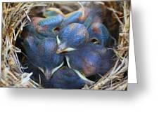 Baby Bluebirds Greeting Card