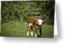 Baby Calf 2 Greeting Card
