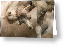 Baby Camels Greeting Card