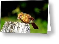 Baby Cardinal Greeting Card