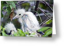 Baby Egret Greeting Card