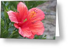 Baby Grasshopper On Hibiscus Flower Greeting Card
