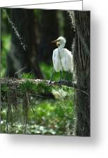 Baby Great Egrets With Nest Greeting Card